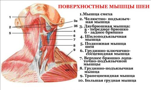 Как расслабить мышцы плечевого пояса. Различные способы расслабления мышц шеи и плеч