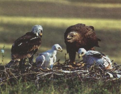 Как орлы воспитывают птенцов. Спартанское воспитание орлов