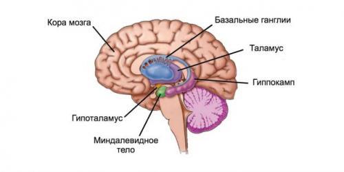 Миндалина мозг. Как работает механизм страха