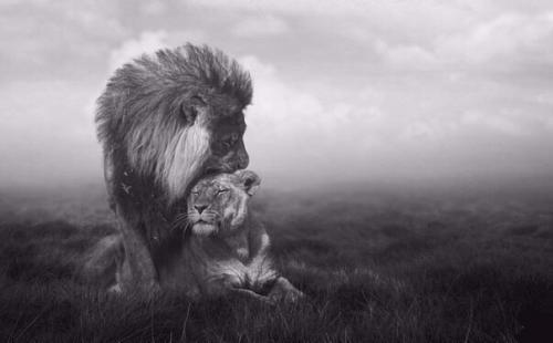 Твоя жена корова моя жена львица. Отличный стих!   Сидели рядом как-то бык со Львом.